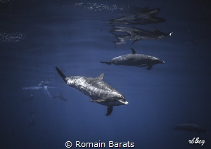 pantropical spotted dolphins by Romain Barats